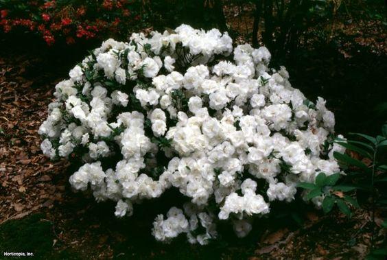 Azalea (Rhododendron (subgenus Azalea) Hardy Gardenia) - got one.  She's gorgeous.  (yes, I think this plant is a girl)  $5 at CBS
