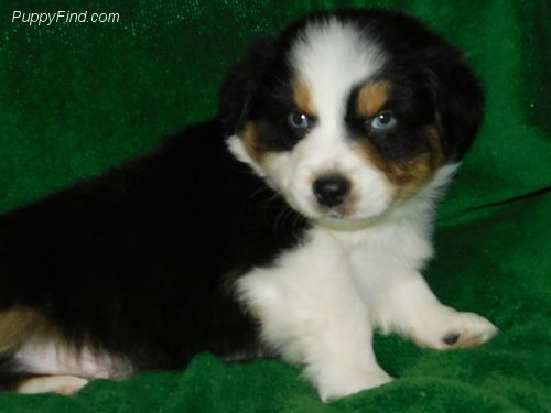 Find Your Perfect Puppy At Puppyfind Com Browse Through Breeders