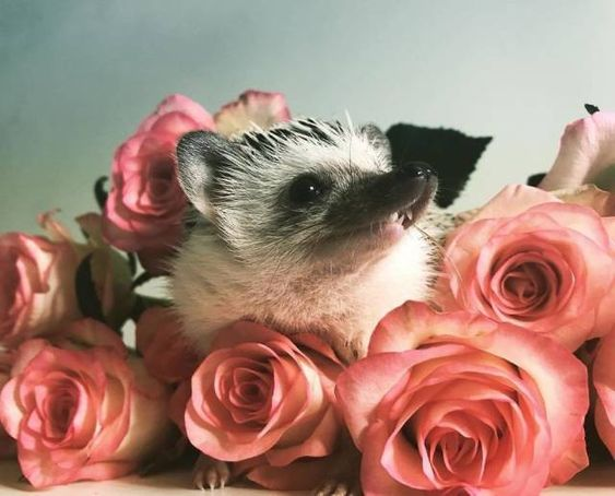 35 Pictures Of The Cutest Hedgehog You Will See Today   CutesyPooh