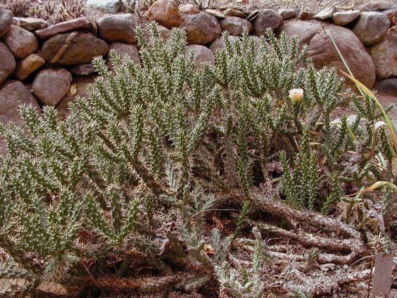 cylindropuntia viridiflora - Pesquisa Google