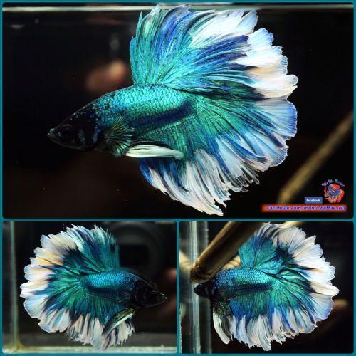 Live Betta Fish Male Perfect Rosetail Metallic Turquoise Halfmoon Hm 2205 Betta Betta Fish Fish