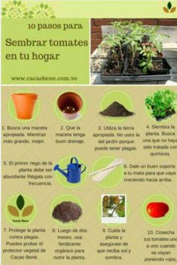 C mo sembrar tomates en casa en 10 pasos potato tomato - Como plantar marihuana en casa paso a paso ...