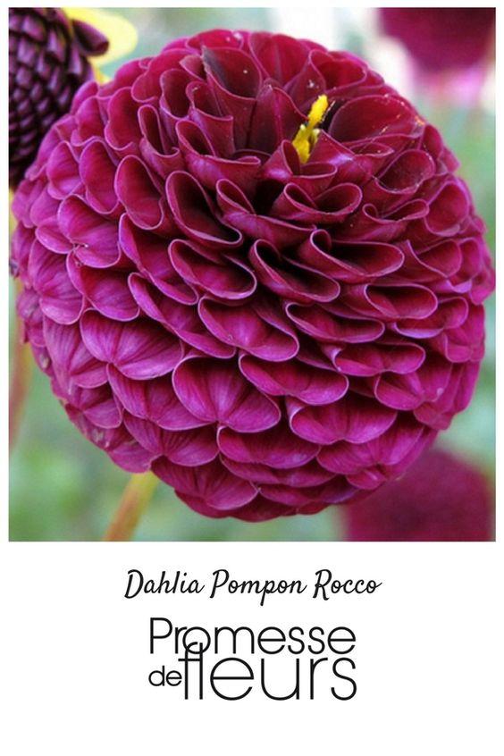 Ce très joli dahlia, facile à marier aux autres fleurs, produit de nombreux  pompons de forme ovoïde, très compacts, de couleur rose-pourpré à centre plus mauve. Elles éclosent de juillet à octobre, sur des plantes trapues, hautes de 80 cm à 1m. Ses fleurs sont aussi très belles dans les bouquets.