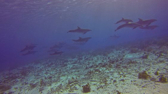 Dolphins cruising Pink Beach. Best dive ever!!!