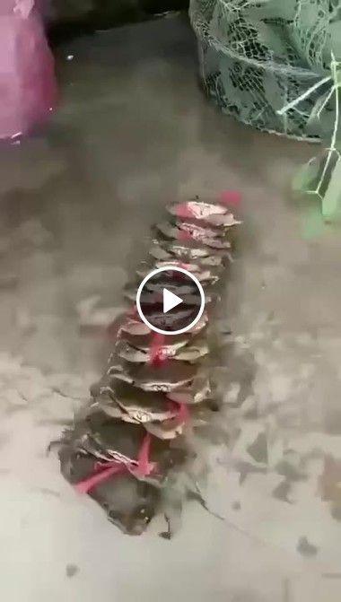 olha só o jeito desses caranguejos