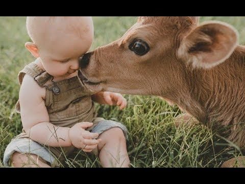 Babies And Baby Cow Become Friends Funny Babies And Pets Compilation Youtube Baby Photoshoot Funny Babies Baby Cows