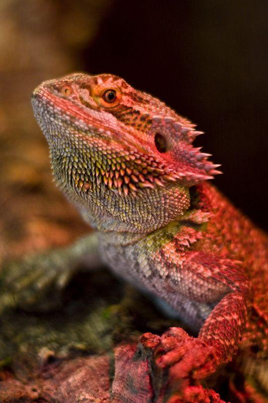 ドラゴンのような真っ赤でかっこいいトカゲの壁紙