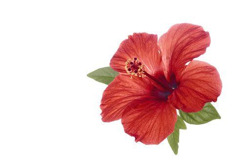 Hibiscus Flower Benefits Remedies Precautions And More Hibiscus Flowers Hibiscus Tree Hibiscus