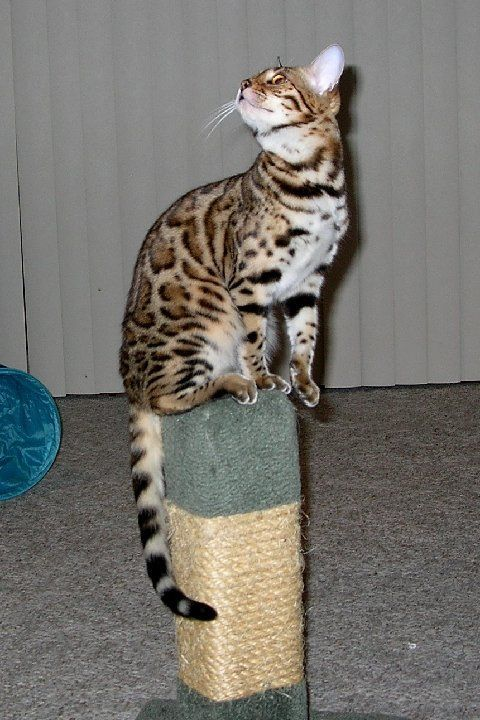 Not To Be Missed Cat Ideas And Training Tips Bengal Kitten Bengal Cat Bengal Cat For Sale