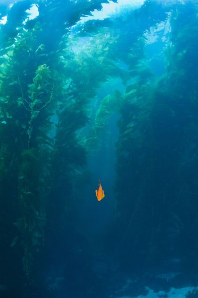 Garibaldi fish in giant kelp