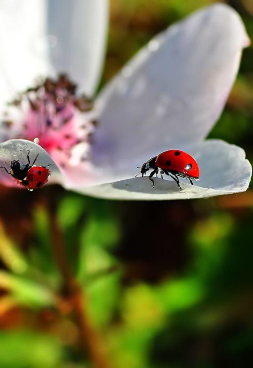 coccinella-fiore
