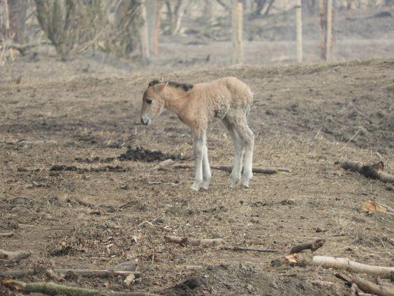 Oostvaardersplassen een pasgeboren veulen in een stuk land waar geen grassprietje te vinden is
