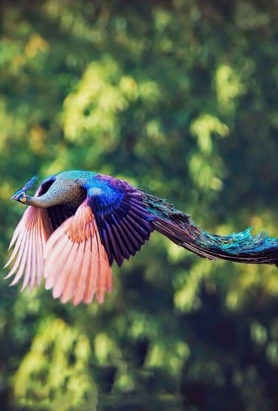 Peacock Flying Bird Wikipedia The Free Encyclopedia Birds - Flying peacocks look like mythical creatures