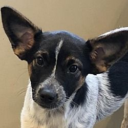 Norwich Ct Cattle Dog Meet Juno A Pet For Adoption In 2020 Cattle Dog Cattle Dogs Mix Pet Adoption