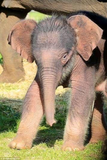 A filhote que passou cerca de 22 meses no ventre de sua mãe, é quase uma raridade. É um dos poucos elefantes asiáticos que vivem na Inglaterra. Sua mamãe, Damini, 20 anos, e seu pai querido Raja, da mesma idade, também moram na comunidade com outros cinco elefantes