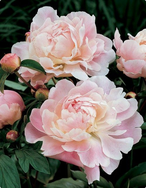 ADORE Peonies, fragrant, delicate yet bold, love to have a vase full of them in May! I was a little freaked out by them as a child because our neighbor had some and I thought it was weird that ants were crawling all over them.: