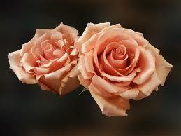 peach roses - Google Search