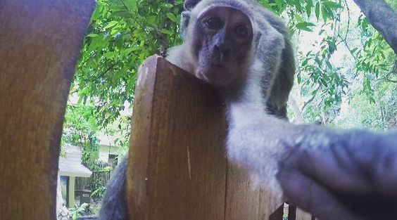 but first let me take a selfie  #selfie #in #thailand #monkey #funny  #happy #monkeyselfie #song #aonang #aonangthailand #railaybeach #sweet #phiphi #thai #porre by gustav_bahn