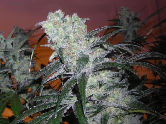 Blue Sonja #chronic Join Us at SmokeWeedEveryday.Org for More Weed Fun!