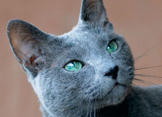 http://www.qzlife.it/gatti/razze-gatti/blu-di-russia-come-monna-lisa/