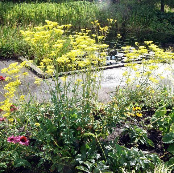 Der Hohe Goldbaldrian hat ein unglaubliche-klares, kühl-leuchtendes Blütengelb zu bieten. Der Flor reicht vom Hoch- bis in den Spätsommer. Dieser Goldbaldrain wird noch Karriere machen!