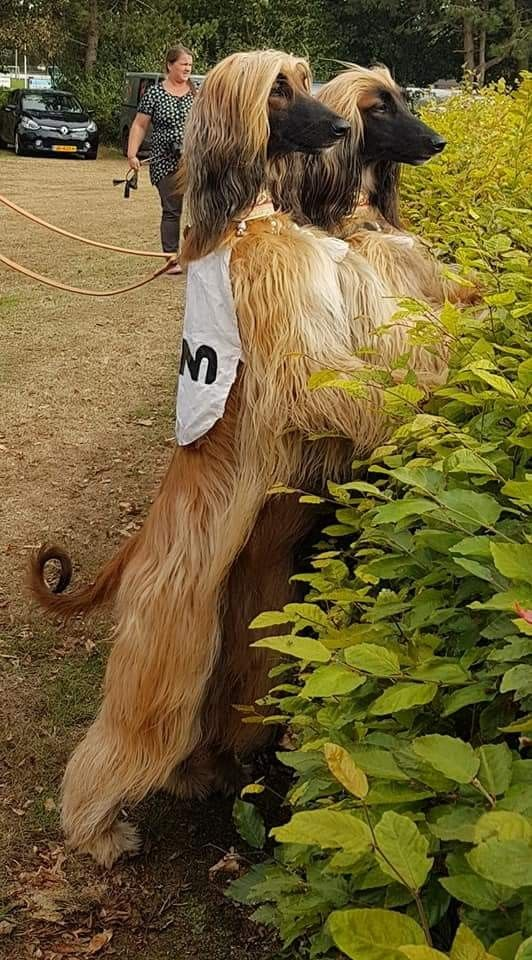 2 Magnificent Afghans Afghan Hound Hound Breeds Hound Dog