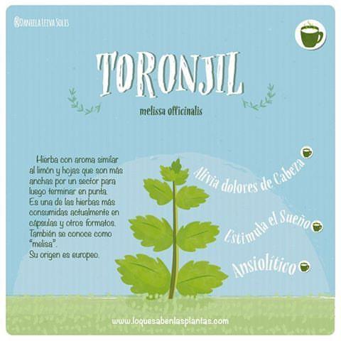 Este es el #toronjil más conocido como #melisa uno de los ansiolíticos más difundidos y usados actualmente en cápsulas y otros formatos #hierbasmedicinales #plantasmedicinales #plantas #ilustracion