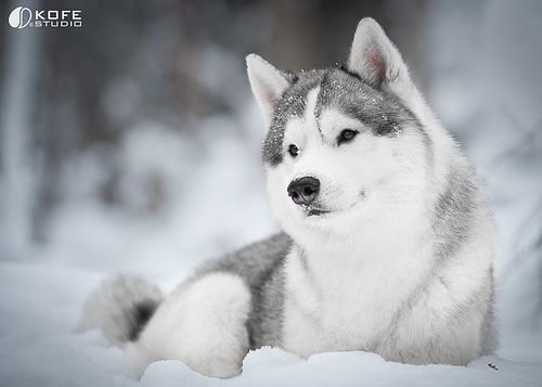 Beautiful Alaskan Husky Siberian Husky The Most