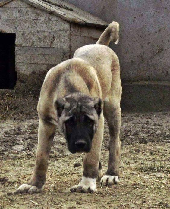 El Perro de Kangal Turco, Turquía