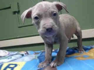 SAFE --- #A4784801 I'm an approximately 1 month old male pit bull. I am not yet neutered. I have been at the Carson Animal Care Center since December 16, 2014. I will be available on December 20, 2014. You can visit me at my temporary home at C124.   Carson Shelter, Gardena, California https://www.facebook.com/171850219654287/photos/pb.171850219654287.-2207520000.1418845434./345930398912934/?type=3&theater