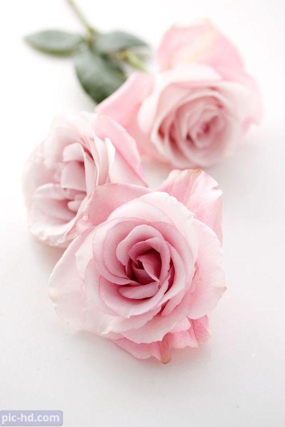 صور ورود أجمل صور خلفيات ورد للهاتف أجمل الورود الطبيعية Pink Roses Pink Flowers Pretty Flowers