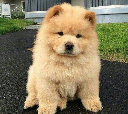 Imagen De Dog Puppy And Cute Perros Chow Chow Cachorros