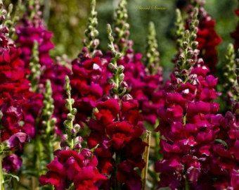 burgundy antirrhinum - Google Search