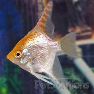 Gold angel fresh water fish for Aggressive saltwater fish
