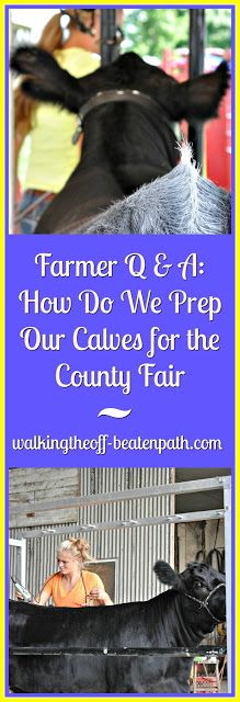 Walking the off-beaten path: Farmer Q & A: How Do We Prep Our Calves for the County Fair (or How to Make Heifer Calves Queen for the Day!)
