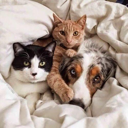 Chien et chats au lit - Wishful thinking