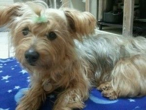Phoebe is an adoptable Silky Terrier Dog in Flower Mound, TX. Phoebe is a 4 year old, 15 lb pound, Yorkie mix who gets along with children, cats and other dogs. She is not that interested in having ca...