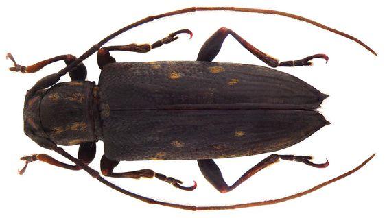 Family: Cerambycidae Size: 13.6 mm Location: Papua New Guinea, Prov. Morobe, Sattelberg leg 01.02.1919 Holotype, Coll. Museum Berlin reconstructed: left antennal segment replaced 8 to 11; right antennal segment replaced 7-11 Photo: U.Schmidt, 2010