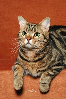 American shorthair tabby | Blog About Cats