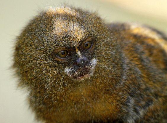 Dwarf monkey by Rainer Leiss - Photo 8870302 - 500px