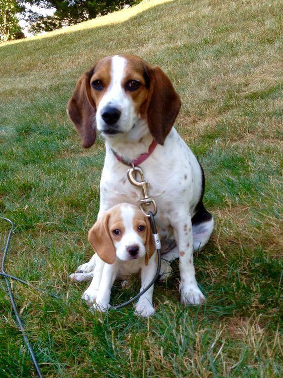 Beagle Puppies With Images Cute Beagles Beagle Dog Beagle