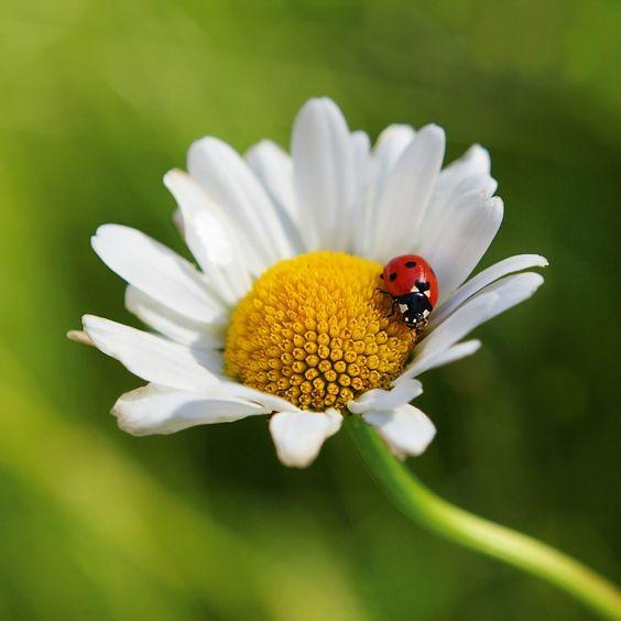 Das Erscheinen des Marienkäfers kündigt die heiße Jahreszeit an. Bei diesem Marienkäfer, der auf einem Gänseblümchen verweilt, fühlt man sich an warme, unbeschwerte Sommertage erinnert.