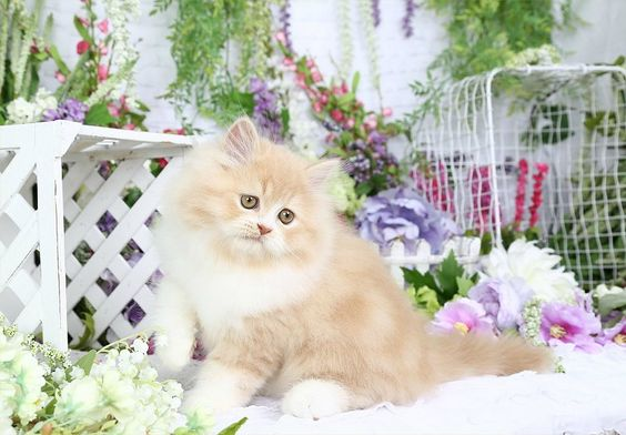 Muppet - Cream & White Bi-Color Doll Face Persian Kitten for SaleUltra Rare Persian Kittens For Sale – (660) 292-2222 – Located in Northern Missouri (Shipping Available)