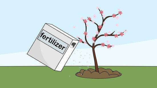 How To Grow A Cherry Blossom Tree Cherry Blossom Tree Blossom Trees Cherry Blossom