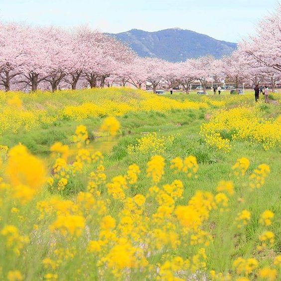 桜と菜の花が綺麗で美しい花畑