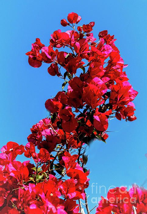 Beautiful Bougainvillea By Robert Bales In 2020 Bougainvillea Season Plants Bonsai Techniques