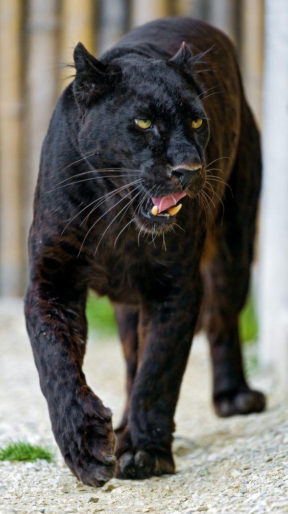 Blacky walking and showing his tongue | This makes us miss Orson. :/
