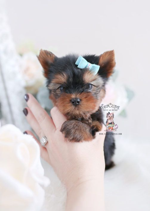 Yorkie Puppy For Sale Teacup Puppies 349 A In 2020 Teacup Puppies Yorkie Puppy Yorkie