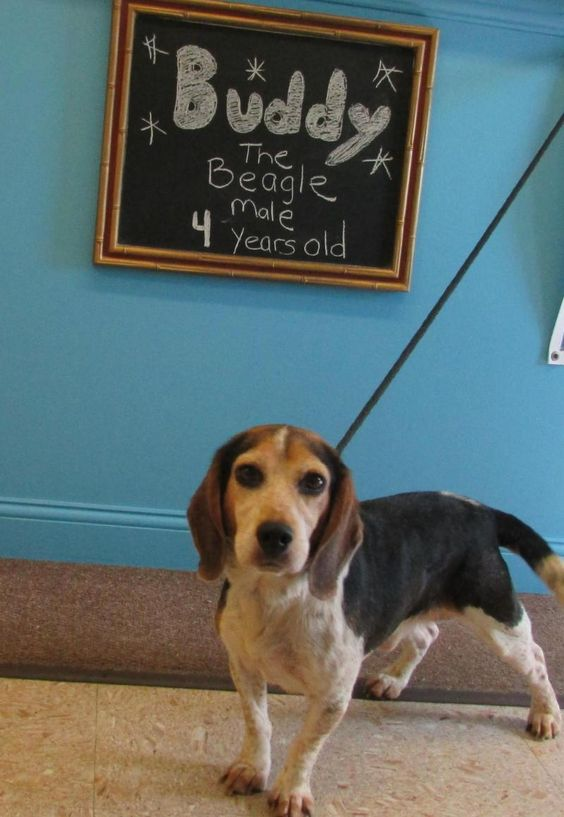 Meet Buddy, an adoptable Beagle looking for a forever home. If you're looking…