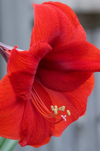 Red Amaryllis Have a beauty like this on my dining room buffet. Happy New Year,all.